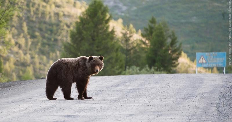 Медведь разоряет фермерские хозяйства Магадана
