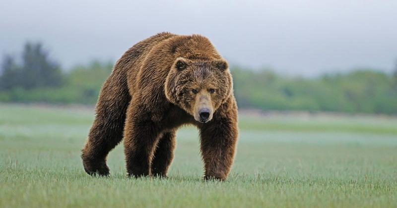 В Магадане медведь разодрал собаку