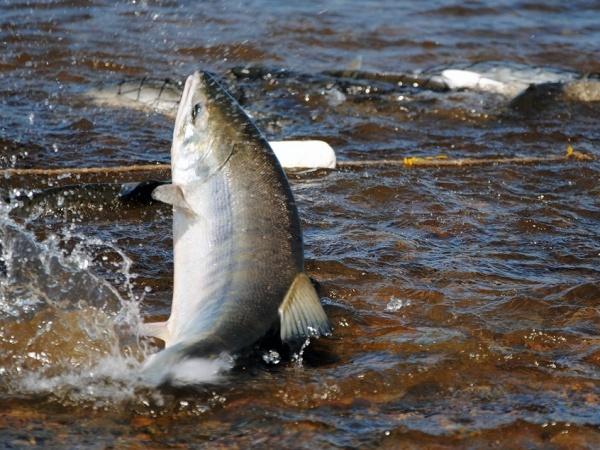 На Колыме введут ещё один дополнительный день пропуска на акватории Амахтонского залива для рыбаков