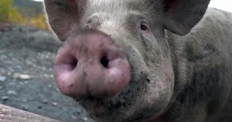 Случай африканской чумы свиней в подсобном хозяйстве Магадана подтвержден лабораторно