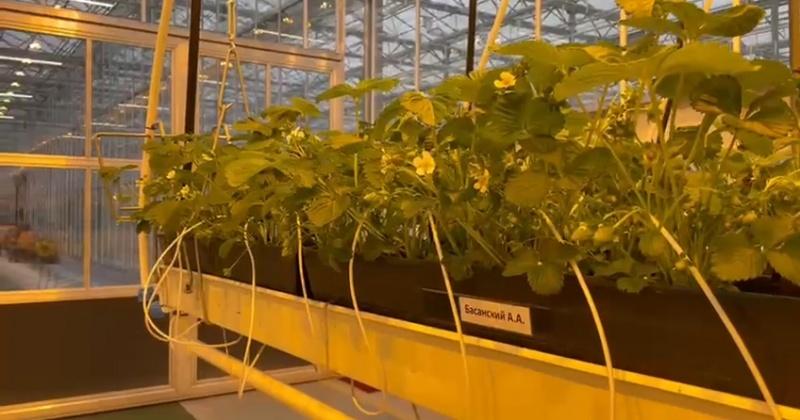В тепличном комплексе п.Талая уже зацвела клубника (Видео)