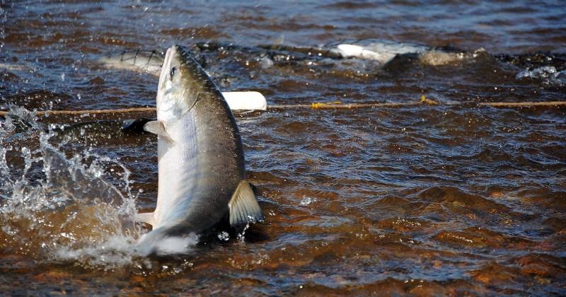 В Магаданской области распределили объёмы вылова лососей для коренных колымчан и промышленных предприятий