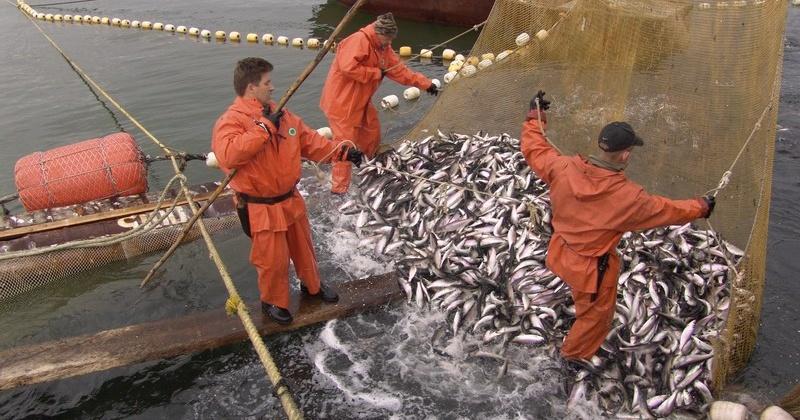 В прошлом году колымские рыбаки освоили только 37 процентов выделенных объёмов горбуши