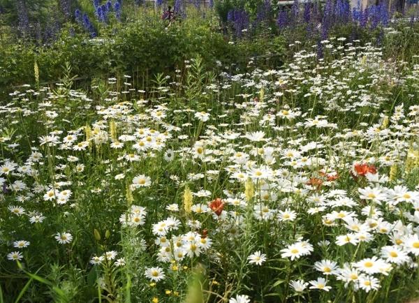 Пионы, фиалки, люпины, маргаритки, лилии и васильки украшают магаданские клумбы и газоны