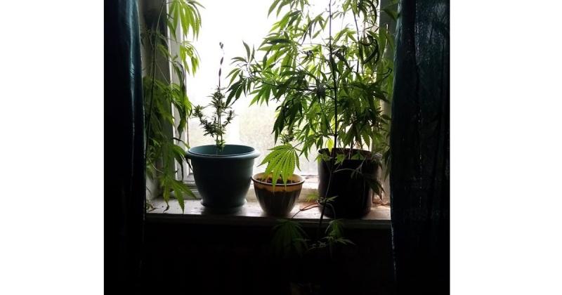 Коноплю колымчанка выращивала в квартире