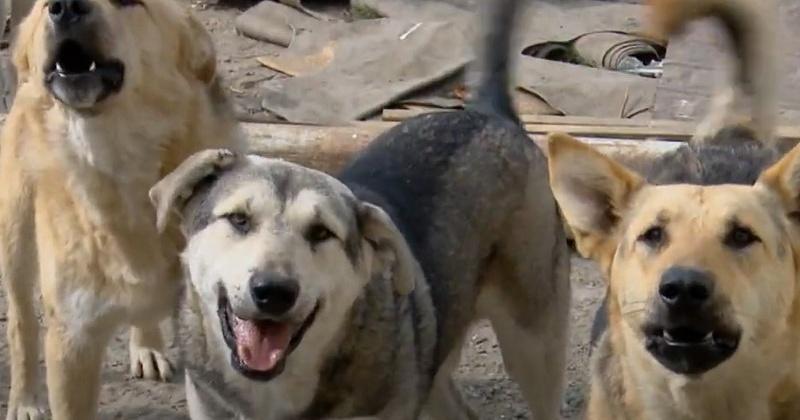 33 раза собаки атаковали детей на улицах Магадана